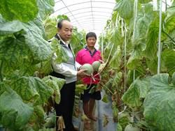 洋香瓜農場一年有9個月產期 許凰誥被讚瓜神