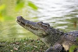被鱷魚尾隨報警 近看才知搞烏龍