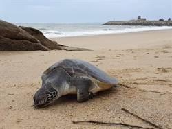 綠蠵龜魂斷金門海岸  瀕絕保育類再少1隻