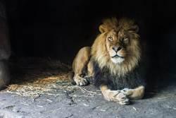 挖出3萬年前幼獅乾屍 宛如還活著