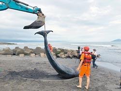 小抹香鯨擱淺喪命 壯圍首見