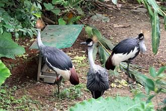 動物園這「防線」別亂撥!灰頸冠鶴竟意外「離家」