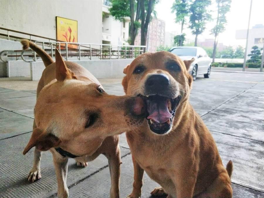 高師大校犬小米與小黃。(高師大提供)