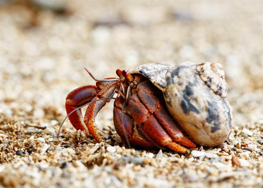 寄居蟹應該出現於海邊,沒想到竟出現在靈堂裡(示意圖/達志影像)