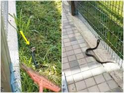 有蛇出沒!北市公園赫見眼鏡蛇