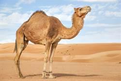 杜拜土豪怎吃燒烤 整隻駱駝搬上桌