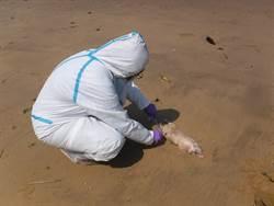 金門海漂豬又驗出非洲豬瘟 肉品暫停輸出1周