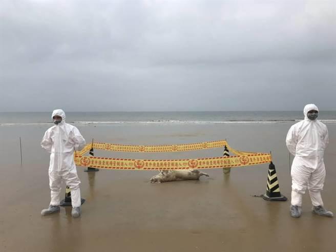 金湖鎮尚義灘岸在5日發現海漂死豬,防疫單位如臨大敵。(縣府提供)