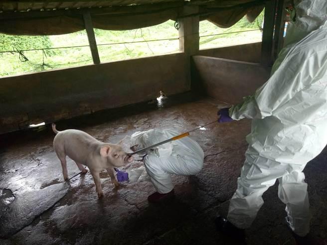 金門縣防疫所對3公里內4家養豬場採取豬隻血樣送檢監測。(縣府提供)