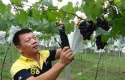 紫黑寶石不懼晚腐病 大村葡萄盛產