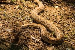 遇7公尺長大蟒蛇 女遭活活勒死