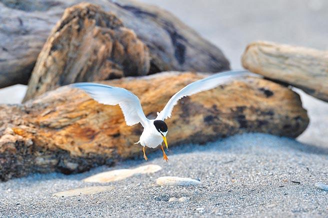 小燕鷗在溪口沙礫地上下蛋,為了避免被車輾破,有釣客以漂流木設屏障護蛋。(莊哲權攝)