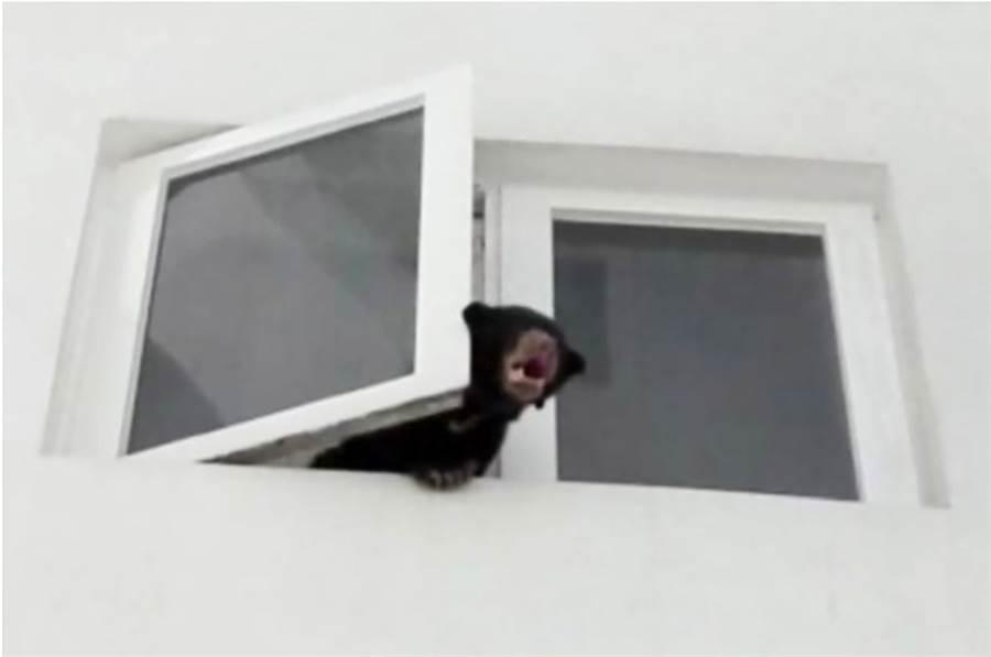馬來西亞吉隆坡一處公寓7日不斷傳出詭異嘶吼聲,鄰居查看竟發現一隻馬來熊探出頭來不斷吼叫,嚇得趕緊報警。(圖/中央社)