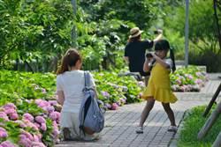 泰山繡球花秘境 打卡新熱點