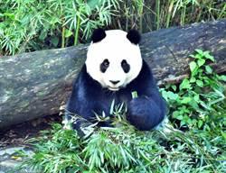 不只貓熊愛綠竹!超萌樹蛙喜在竹葉裡捉迷藏