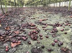 豪大雨來臨 湖埔社大攜手在地企業義賣葡萄