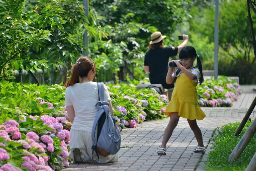 泰山區黎明步道花園中的繡球花海,呈現浪漫的粉紅、粉藍、粉紫色,相當吸睛,成為拍照打卡的新熱點。(吳亮賢攝)