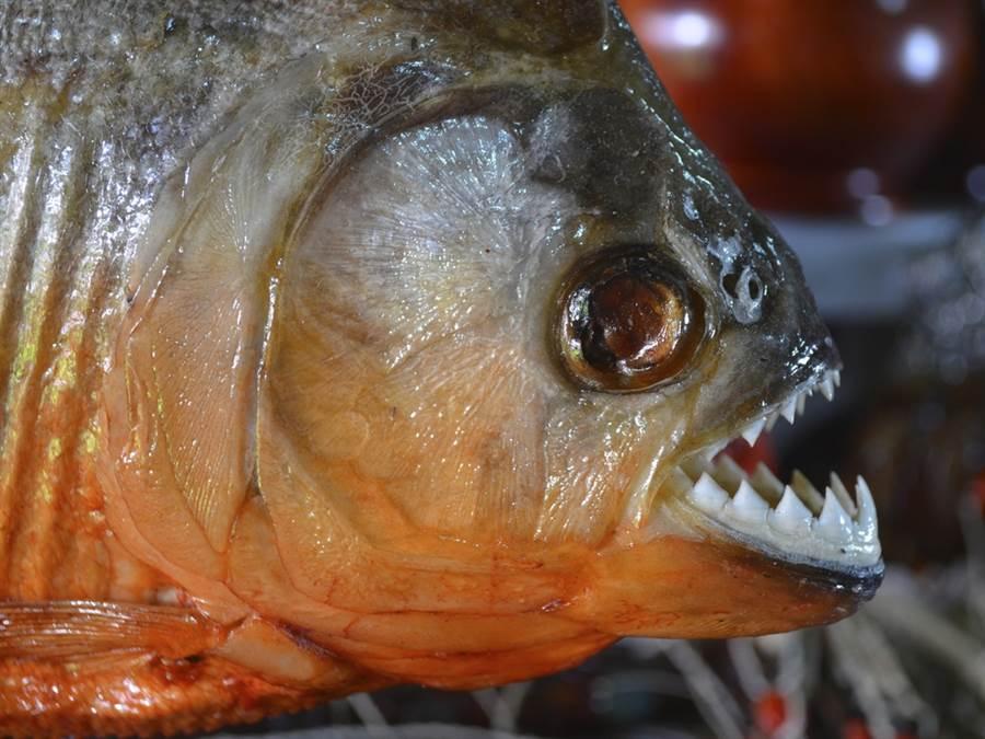食人魚的牙齒相當尖銳。(圖/shutterstock)