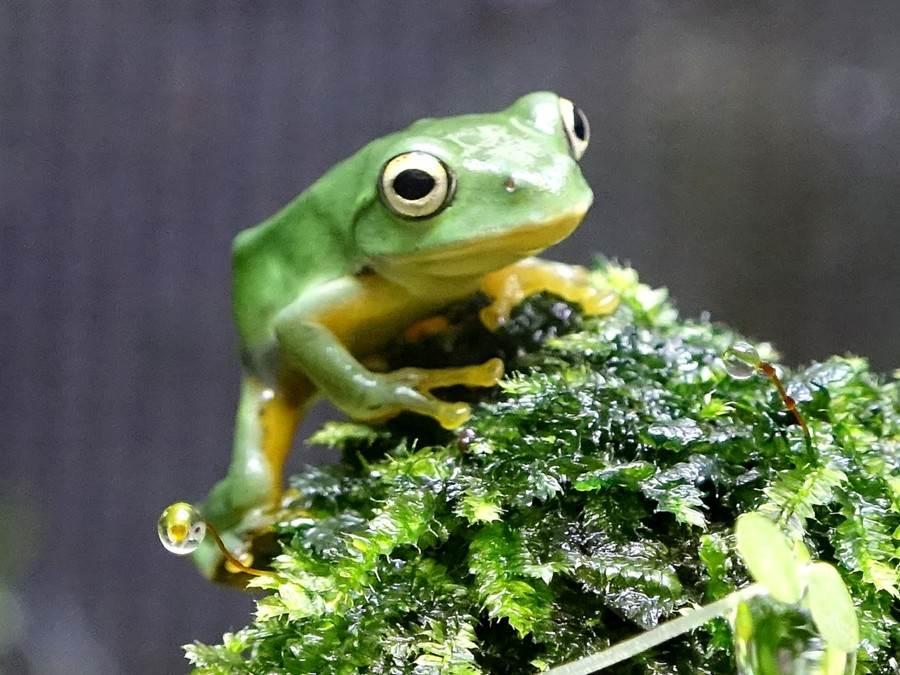 保育员在洗竹叶时,常常有机会发现可爱的「莫氏树蛙」藏在竹叶里。