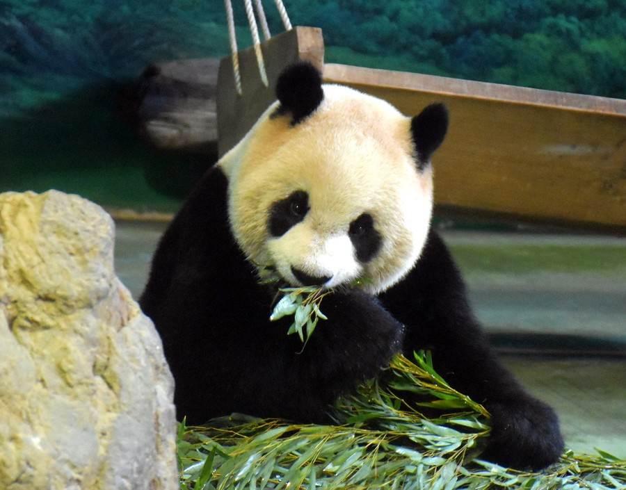 看到青蛙的存在,也间接说明了这些竹叶是来自环境友善的种植农地,让大猫熊们「食」得更安心。