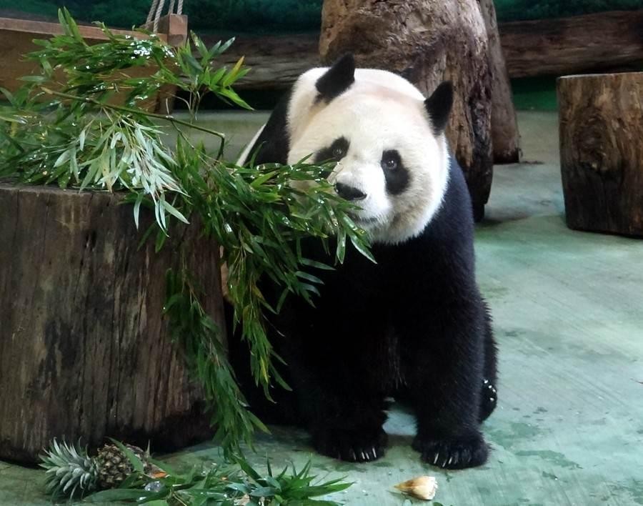 观察过大猫熊吃东西的朋友们或许曾注意到,一整堆的竹叶在面前,他们总会把竹叶拿起来闻一闻。