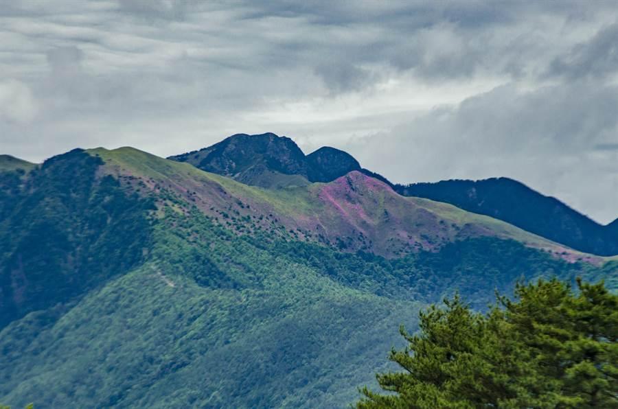 雪山山脈中的大劍山杜鵑花大爆發,從10公里外的福壽山農場就能遠眺到粉紅地毯。(陳淑娥翻攝)