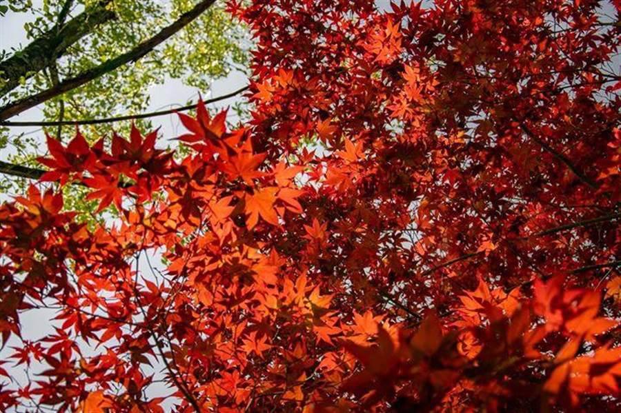 福壽山農場的紫葉槭在青楓印襯下,加上日照的光影交錯,火紅到浪漫滿分。(陳淑娥翻攝)