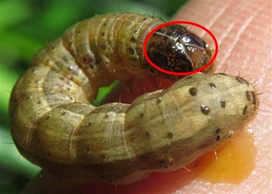 秋行軍蟲確認入侵台灣。(防檢局提供)