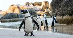 企鵝夫妻孵蛋失敗 殘殺同類洩憤
