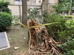 路樹倒塌壓到人 市議員促盤點問題樹木
