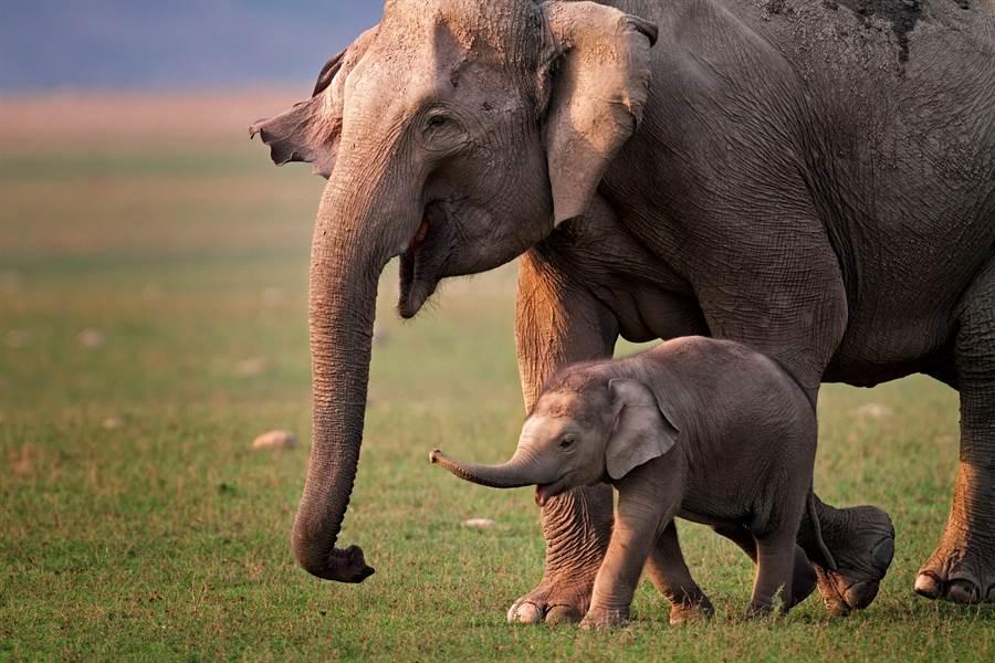 不捨丟下死小象 大象伴屍列隊送葬(示意圖/達志影像)