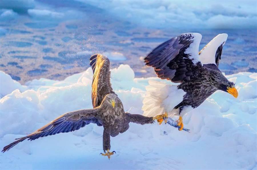 曾進發在北海道拍下《流冰上的虎頭海鵰捕魚》作品,獲莫斯科國際攝影獎金牌肯定。(曾進發提供)