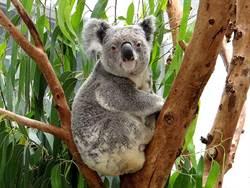 無尾熊也要休假!北市動物園6月這10天「不對外開放」