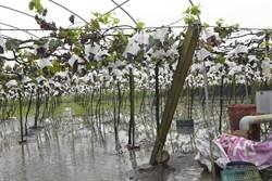 葡萄成熟時 雨彈砸葡萄收成泡湯了