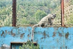 陸首隻人工繁育雪豹 可出嫁了