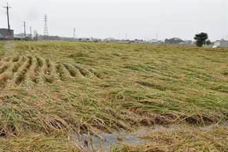 稻穀收割遇大雨  斗南稻子倒伏、二崙傾倒