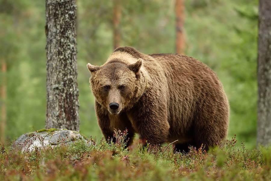 勇男與棕熊肉搏 狠咬下牠舌頭保命(示意圖/達志影像)