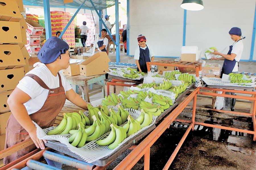 2018年 10月30日,工人在菲律賓北達沃省的香蕉種植園包裝香蕉,經一周海運走進中國的家庭。(新華社)