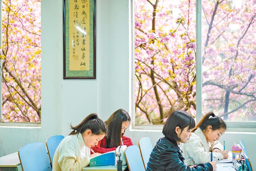 4月1日,貴州民族大學學生在窗外盛開櫻花的教室裡自習。(中新社)