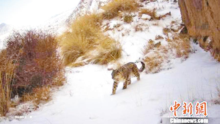 安西極旱荒漠國家級自然保護區,首次觀測到雪豹的蹤跡。(取自中新網)