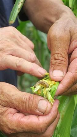 再傳2例!台東鹿野、宜蘭大同現稻米型秋行軍蟲
