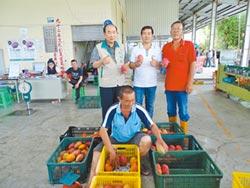 南化芒果 今年產銷量還不錯