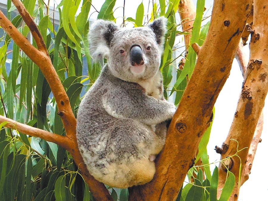 無尾熊館的棲架在本次休園期間會進行維護。(台北市立動物園提供)
