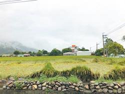 連日降雨 關山部分稻米倒伏