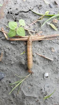 花蓮再添一處秋行軍蟲入侵案例 農業處封鎖採樣