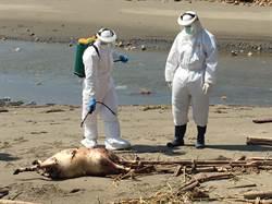 白沙屯海岸驚見浮腫羊屍  海巡現勘就地掩埋