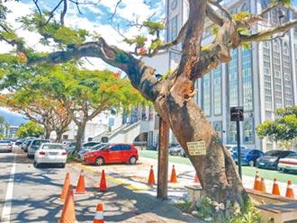 50餘年鳳凰樹蛀蝕 將砍除