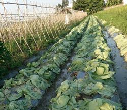 大雨後高麗菜整園爛光 農民哭:誰來心疼我們