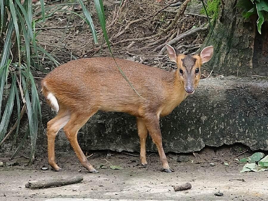 保護瀕危動物族群的個體數及基因庫以外,保存野外的自然環境更是關鍵工作(山羌)。(台北市立動物園提供)