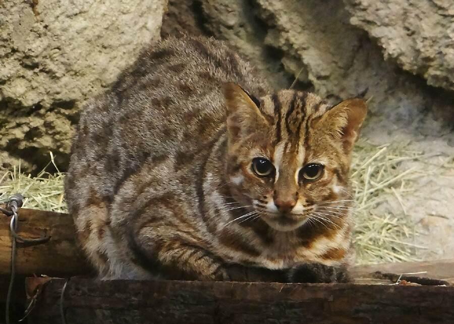 動物園努力推展的域外保育,目標是讓瀕危野生動物有朝一日能夠回到自然野外去生活(石虎「小母」)。(台北市立動物園提供)